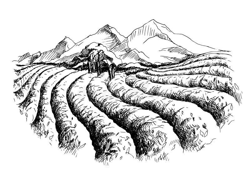 Paysage de plantation de thé illustration de vecteur