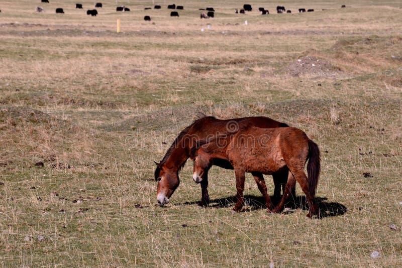 Paysage de plateau - cheval image stock