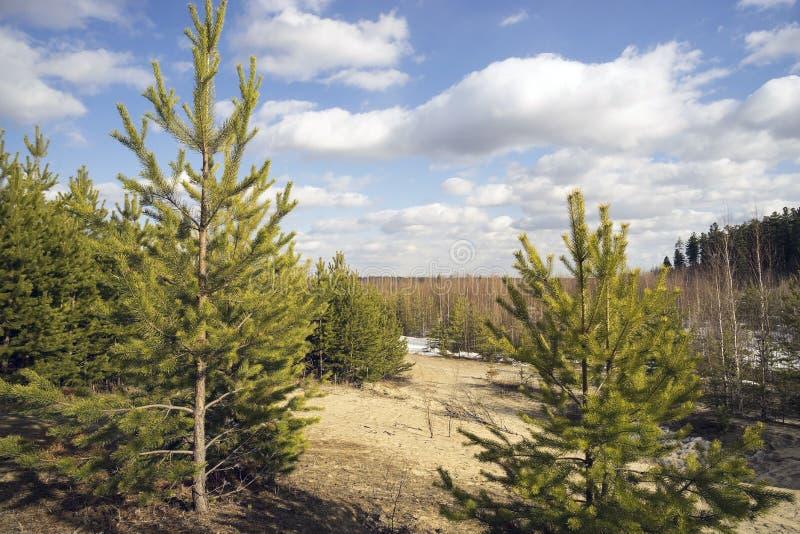 Paysage de ressort avec de jeunes pins photo libre de droits