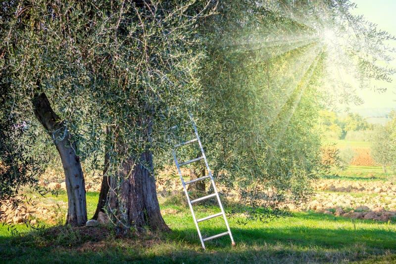 Paysage de temps de récolte de plantation d'oliviers photographie stock
