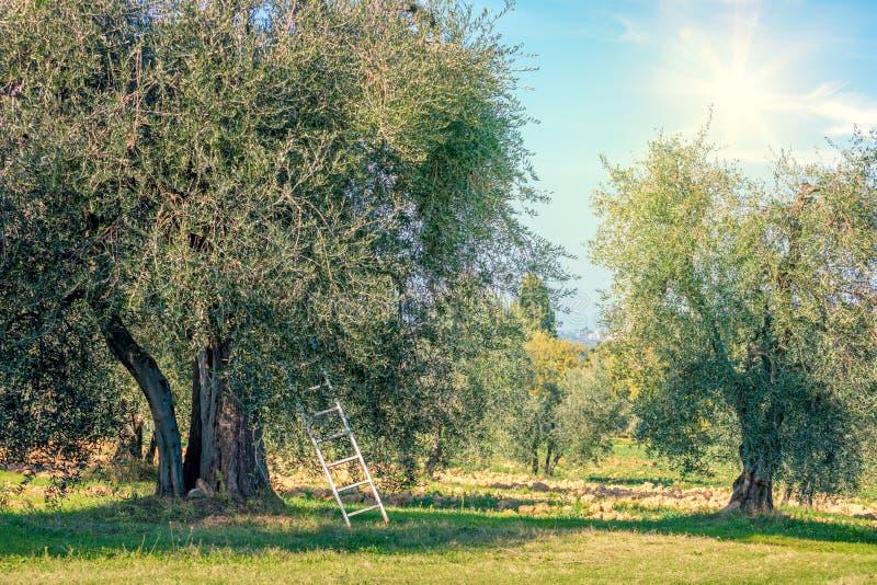 Paysage de temps de récolte de plantation d'oliviers image libre de droits