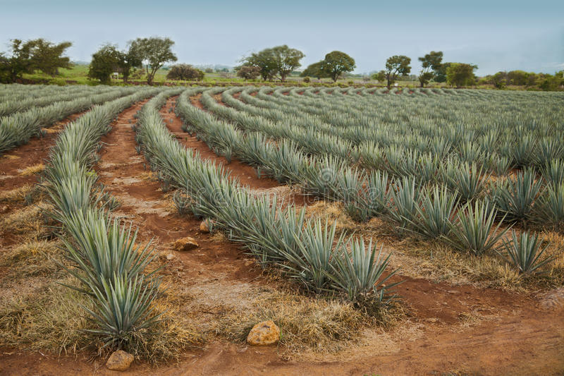 Paysage de tequila images libres de droits