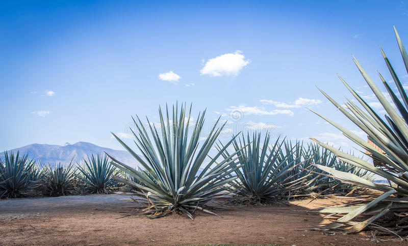 Paysage de tequila photos stock