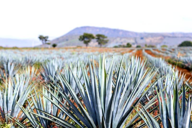 Paysage de tequila d'agave photo libre de droits