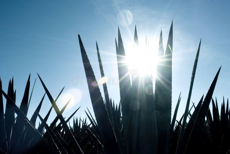 Paysage de tequila d'agave vers Guadalajara, Jalisco, photographie stock libre de droits