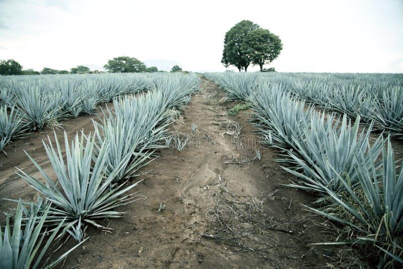 Paysage de tequila d'agave vers Guadalajara, Jalisco, images libres de droits