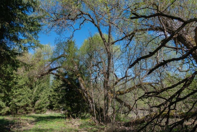Paysage de vert forêt de ressort avec de grands vieux arbres image stock