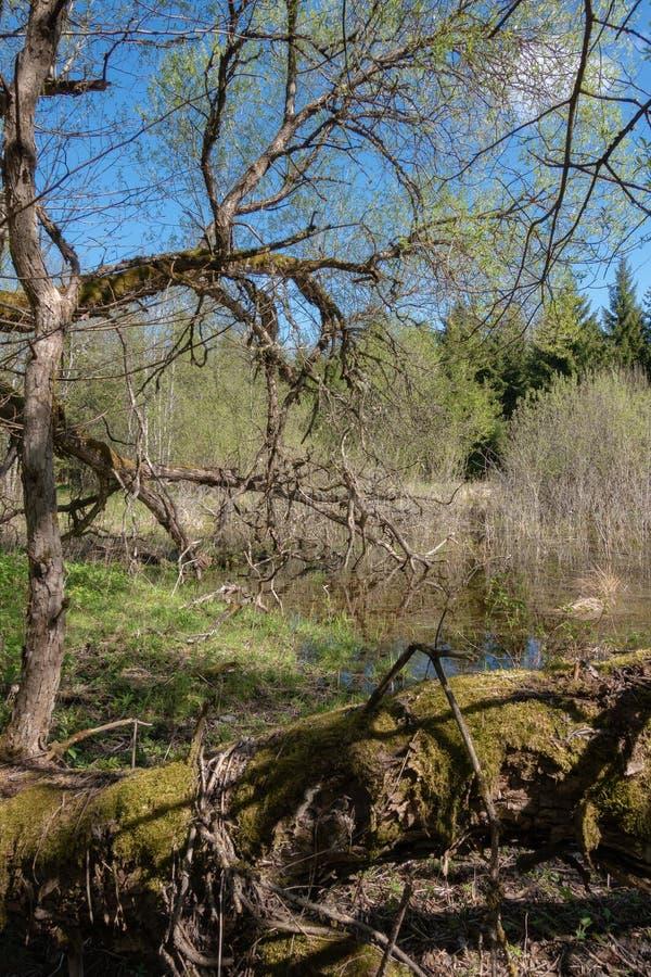 Paysage de vert forêt de ressort avec de grands vieux arbres photo stock