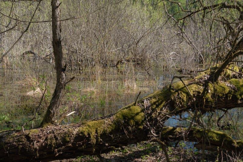 Paysage de vert forêt de ressort avec de grands vieux arbres photographie stock libre de droits