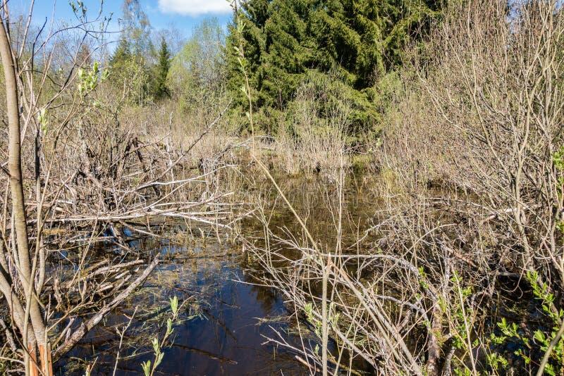 Paysage de vert forêt de ressort avec de grands vieux arbres photos libres de droits
