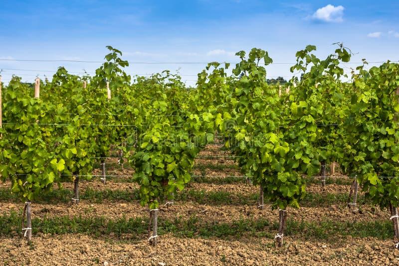 Paysage de vignoble près de Bordeaux, France photo stock