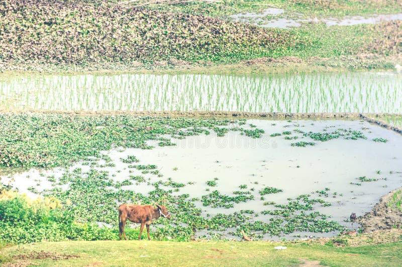 Paysage des gisements de riz avec une vache dans le premier plan photos libres de droits