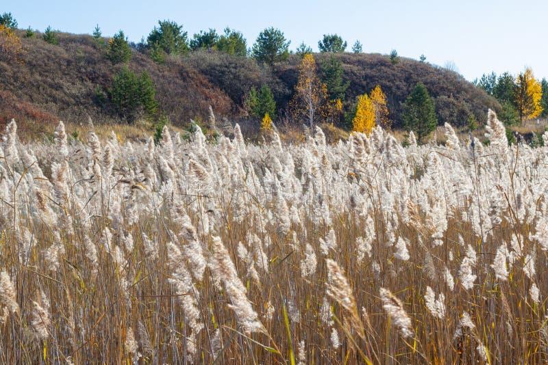 Paysage du matin d'automne avec des roseaux recouverts de la première hoarfrost Roseaux secs et buckthorn buissons sur une collin photos libres de droits