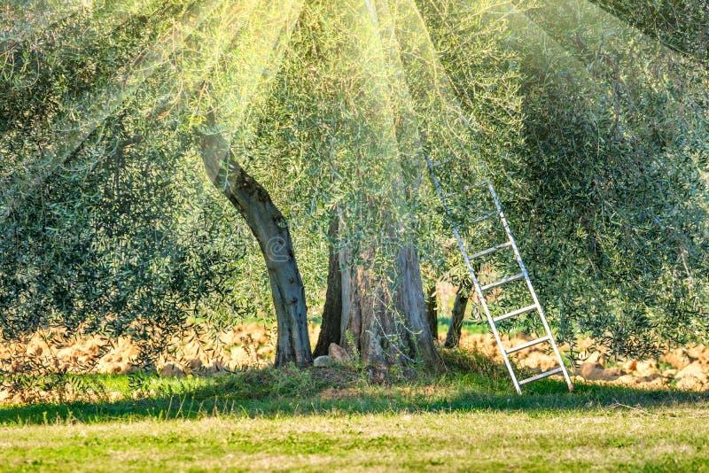 Paysage ensoleillé de temps de récolte de plantation d'oliviers photos stock