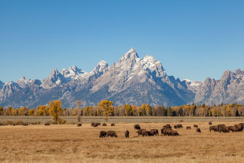 Paysage et bison de Teton photographie stock libre de droits