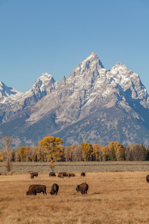 Paysage et Bison Herd de Teton image libre de droits