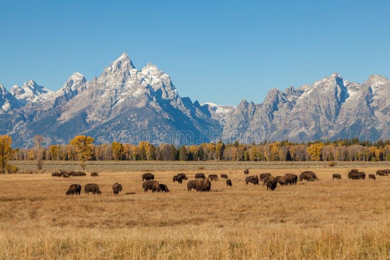 Paysage et Bison Herd de Teton dans l'automne image stock