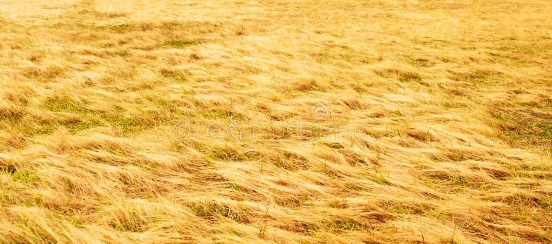 Paysage fantastique de prairie d'or sur le crépuscule d'été, ondulation abstraite de herbeux d'or sur la terre images libres de droits