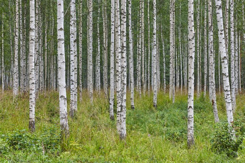 Paysage finlandais avec la région sauvage de nature de la Finlande de forêt de bouleau photo libre de droits