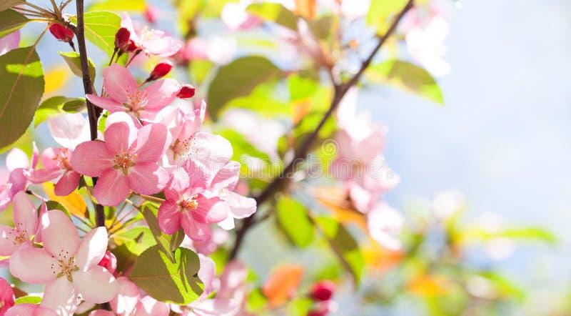 Paysage floral de nature de beau ressort L'arbre fruitier de floraison s'embranchent dans le jardin, fleurs roses de pétale dans  photo libre de droits