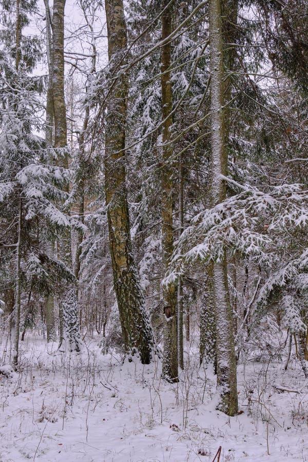 Paysage hivernal du peuplement d'arbres mixtes enneigés images libres de droits