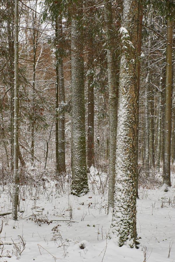 Paysage hivernal du peuplement d'arbres mixtes enneigés photo libre de droits