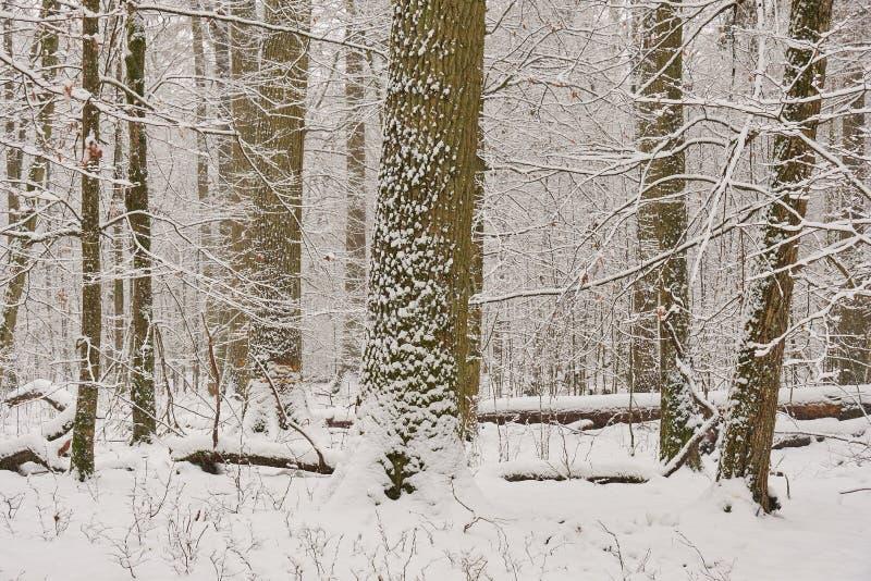 Paysage hivernal du peuplement de feuillus enneigé photographie stock libre de droits