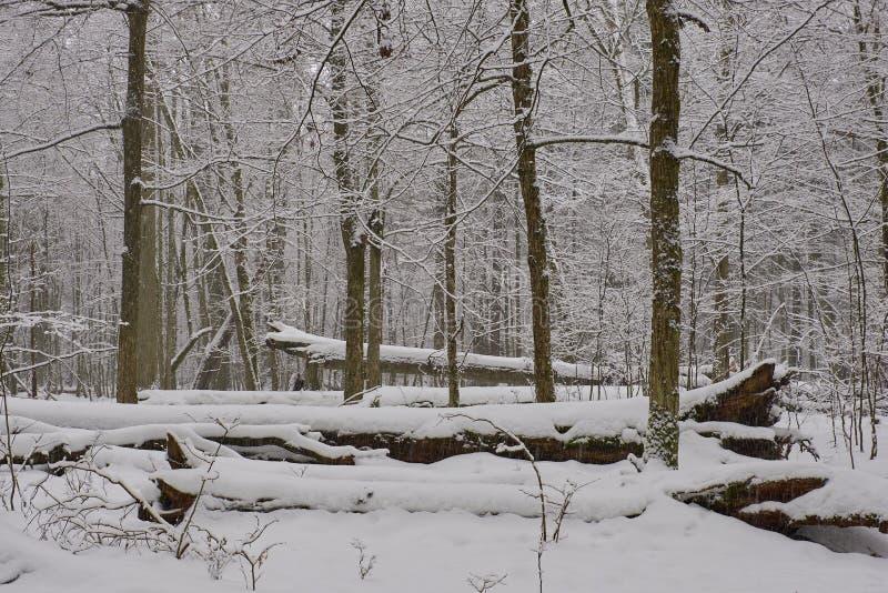 Paysage hivernal du peuplement de feuillus enneigé images stock