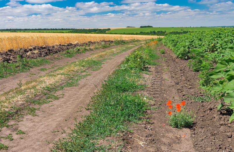 Paysage imagé avec une route de terre parmi les gisements agricoles non mûrs de tournesol et de blé images stock