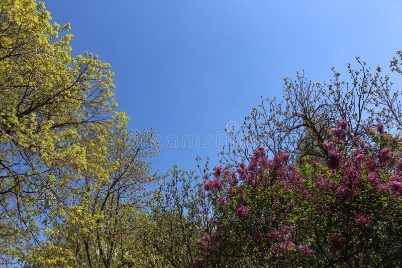 Paysage incroyable combiné de lilas et de ciel bleu image stock