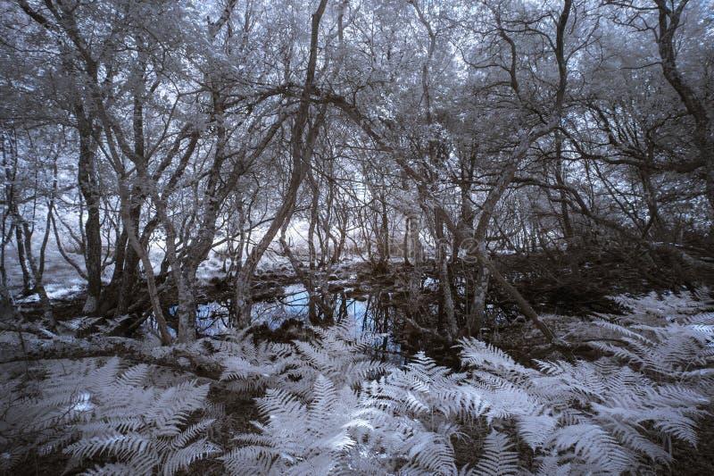 Paysage infrarouge de forêt de hantise fantasmagorique surréaliste avec le col faux image stock