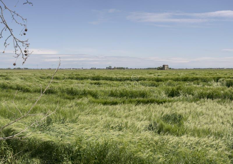 Paysage large avec des transitoires de ma?s vert remu?es dans les vagues par le vent dans les plaines pr?s de Portogruaro, Italie image stock