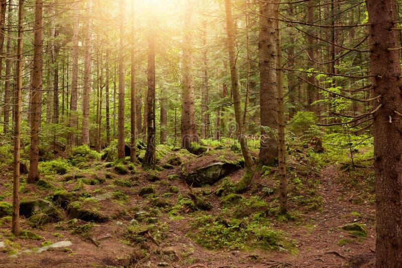 Paysage magnifique fait dans la forêt, rayons du soleil passant par de vieux arbres grands, pré louche, groupe de pins, petit enr image stock