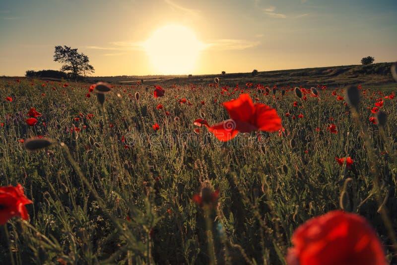 Paysage merveilleux pendant le lever de soleil Pavots rouges de floraison sur le champ images stock