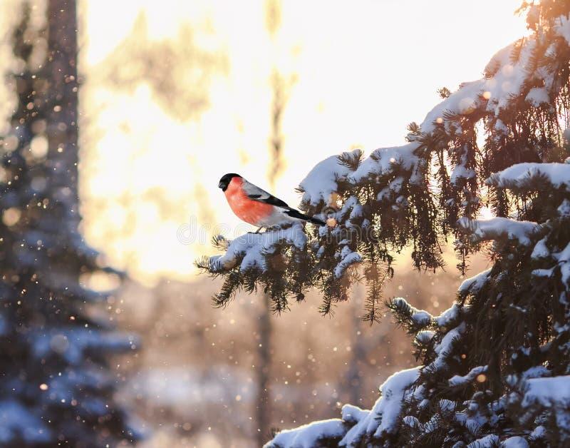 Paysage naturel de carte postale de Noël avec un sitti de bouvreuil d'oiseau image stock