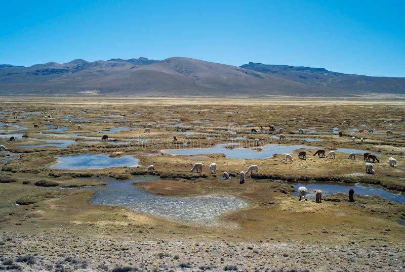 Paysage péruvien avec un troupeau de lamas photographie stock
