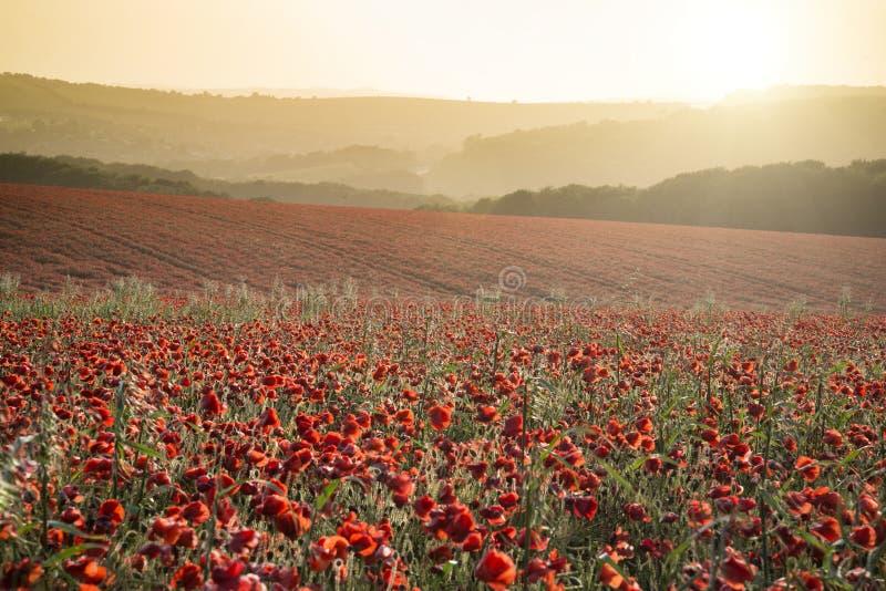 Paysage renversant de champ de pavot sous le ciel de coucher du soleil d'été photo libre de droits