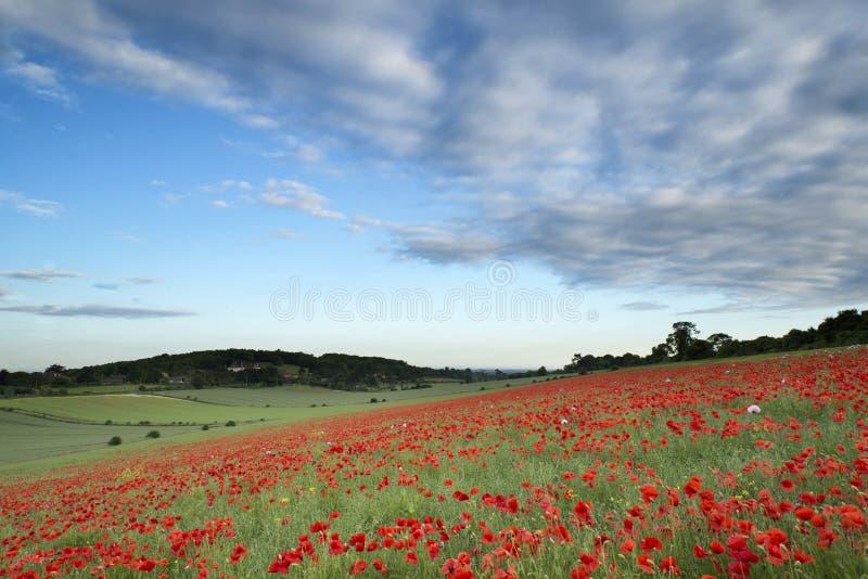 Paysage renversant de champ de pavot sous le ciel de coucher du soleil d'été image libre de droits