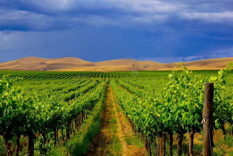 Paysage Rolling Hills de vignoble contre le ciel foncé photographie stock