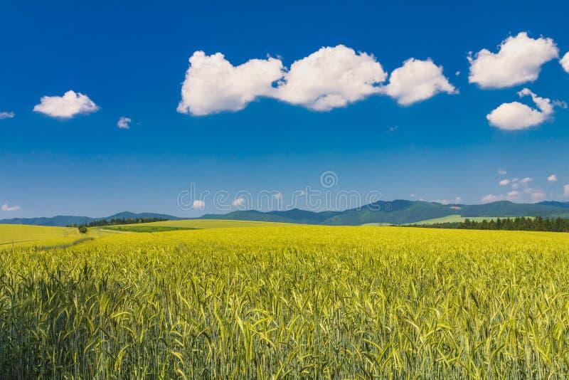 Paysage rural avec champ d'orge par beau temps image libre de droits