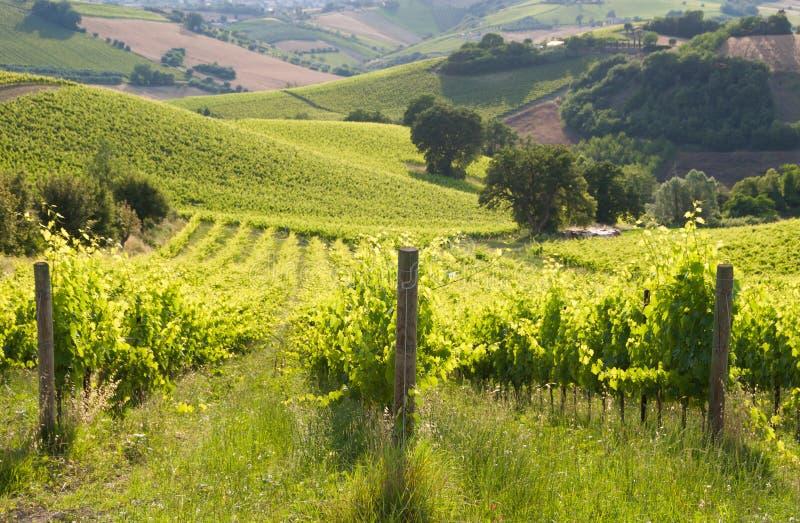 Paysage rural avec un vignoble vert parmi des collines photographie stock libre de droits