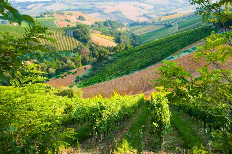Paysage rural avec un vignoble vert parmi des collines image libre de droits