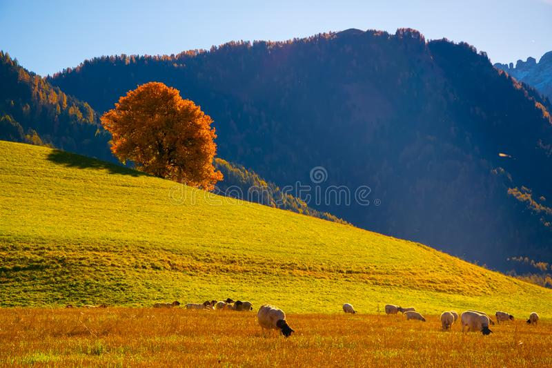 Paysage rural d'automne étonnant avec les moutons et l'arbre jaune isolé sur le pâturage dans des Alpes de dolomite, Italie photo libre de droits