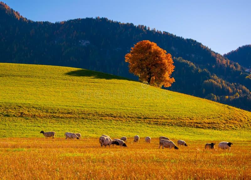 Paysage rural d'automne étonnant avec les moutons et l'arbre jaune isolé sur le pâturage dans des Alpes de dolomite, Italie images stock