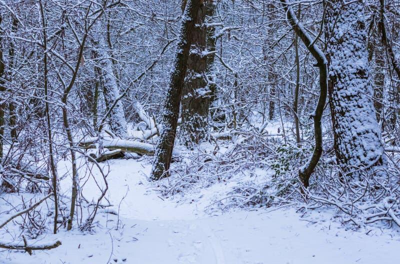 Paysage sauvage de paysage de forêt dans la saison d'hiver, bois néerlandais couverts dans la neige blanche photos libres de droits