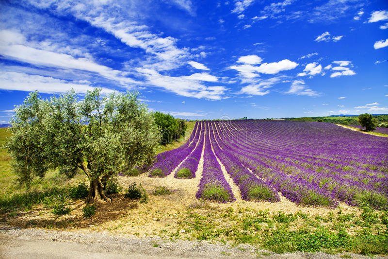 paysage sc nique de la provence avec le lavande de floraison photo stock image du ext rieur. Black Bedroom Furniture Sets. Home Design Ideas