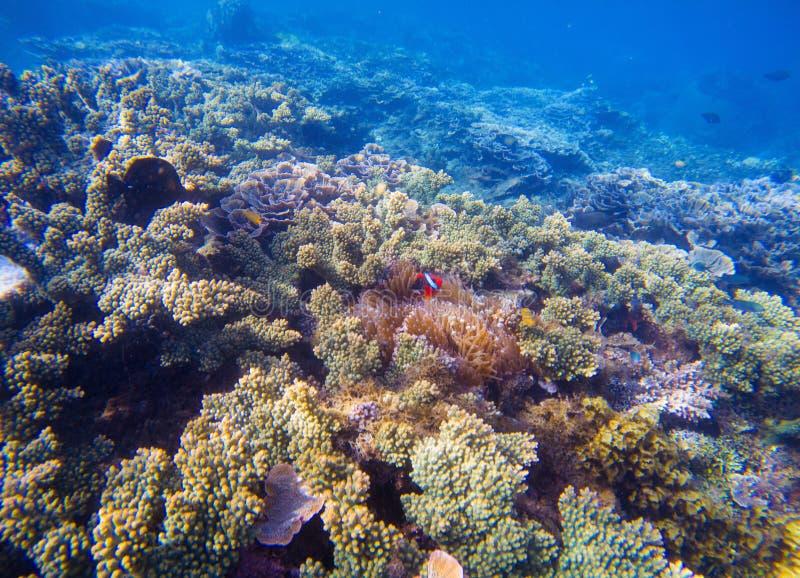 Paysage sous-marin avec les poissons tropicaux Clownfish et Surgeonfish entre les coraux et les usines de mer photo stock