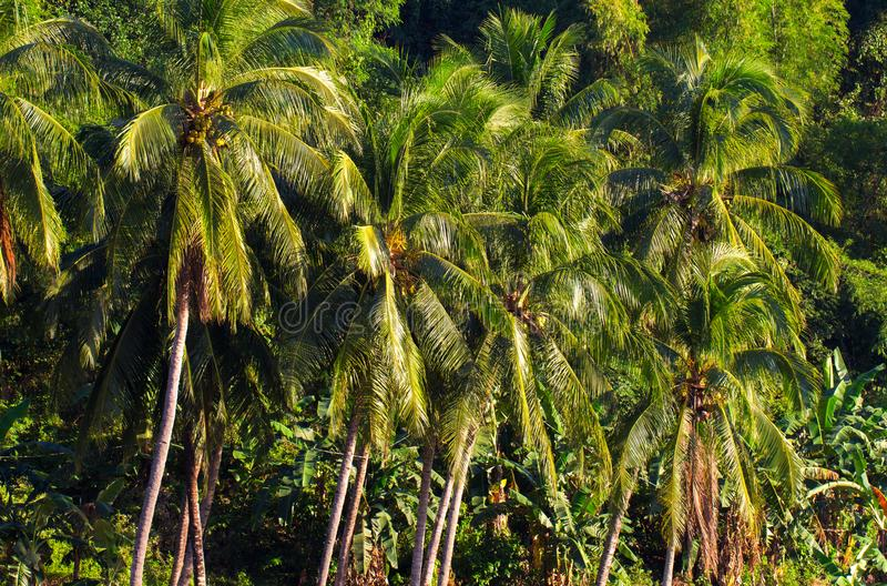 Paysage tropical de forêt de jungle Vue verte tropicale de jungle Paysage de voyage d'été avec des palmiers de Cocos photo stock