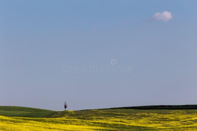 Paysage typique d'Orcia de ` de la Toscane Val d, avec les arbres de cyprès isolés sur une colline au milieu des fleurs jaunes et images libres de droits