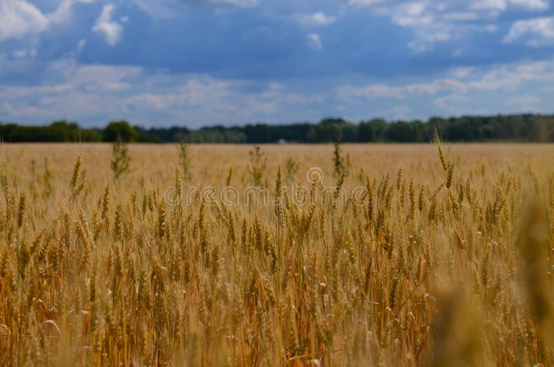 Paysage ukrainien d'été avec les champs de blé et le ciel bleu image libre de droits